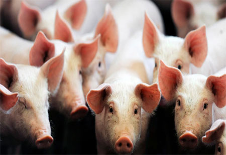 eGenesis Raises USD 100 Million to Research Pig to Human Transplants